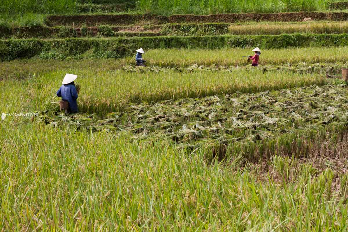 Farmers harvesting rice in northern Vietnam