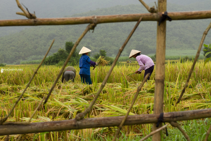 Local people harvest rice during the photo tour